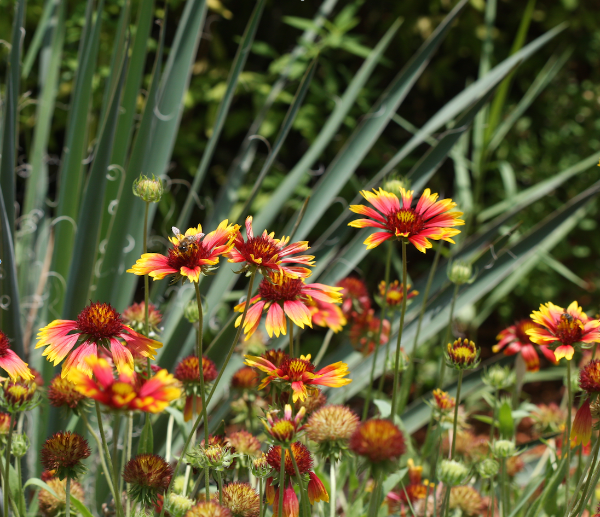 Gaillardia with Palmetto